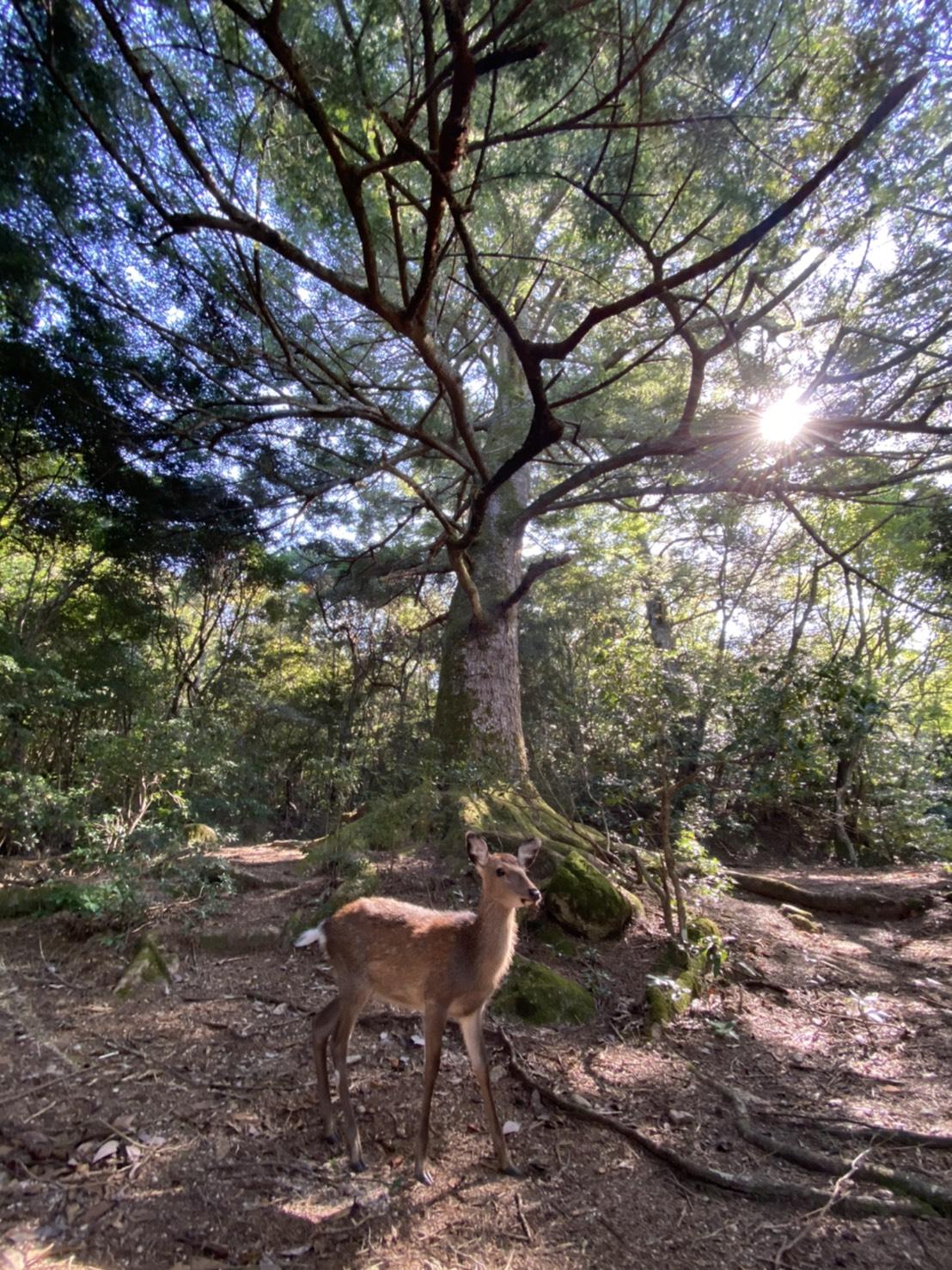 ご神木と鹿